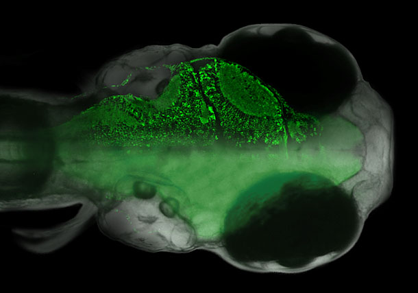 Figure 1: Larval zebrafish expressing a genetically encoded calcium sensor in all neurons...